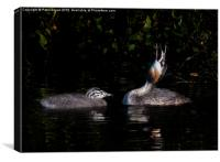 Great Crested Grebe and chick, Canvas Print