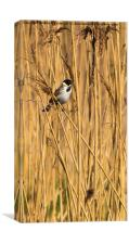 Reed Bunting, Canvas Print