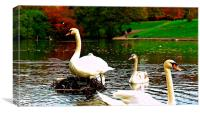 A family of swans on a lake, Canvas Print
