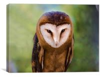 Barn Owl , Canvas Print