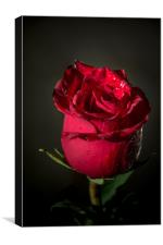 Red rose bud, Canvas Print