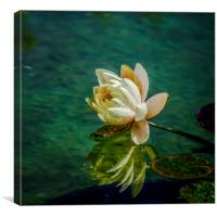 Water Lily after rain, Canvas Print