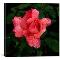 A rose after the rain, Canvas Print