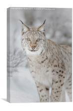 Winter ghost, European lynx, Canvas Print