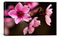 Blossom Peaches flower, Canvas Print