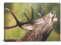 Roaring  Red Stag , Canvas Print