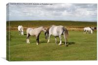 Wild horses on the Gower Peninsula in Wales, UK, Canvas Print