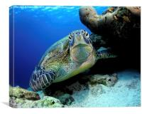 Underwater turtle, Canvas Print