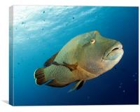 Underwater fish and coral reef, napoleon wrasse, Canvas Print