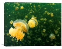Palau Jellyfish Lake Jelly Fish, Canvas Print