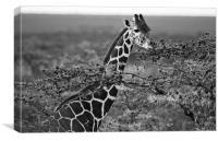 Grazing Giraffe, Canvas Print