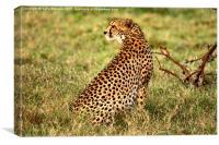 Cheetah waiting for prey, Canvas Print