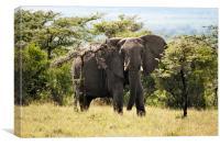 Wary Elephant, Canvas Print