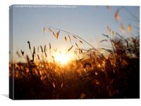 Golden Grass, Canvas Print