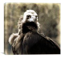 Buzzard, Canvas Print
