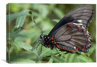 Zebra Longwing butterfly., Canvas Print