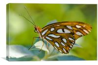 Agraulis Vanillae, Gulf Fritillary Butterfly, Canvas Print