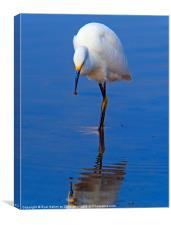 Snowy Egret (Egretta thula), Canvas Print