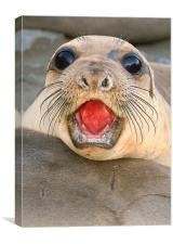 Northern Elephant seal female, Mirounga angustiros, Canvas Print