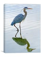 Blue Heron reflection, Canvas Print