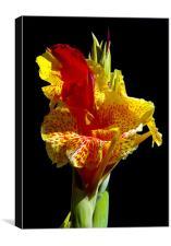 Canna Lily, Canvas Print