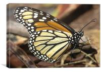 Monarch Butterfly closeup and personal, Canvas Print