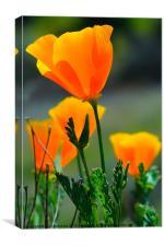 California Poppy, Canvas Print