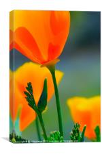 California Poppyy, Canvas Print
