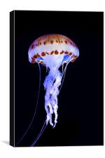Purple Striped Jellyfish (Chrysaora colorata), Canvas Print