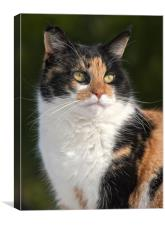 Calico cat, Canvas Print