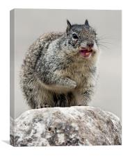 California Ground Squirrel, (Spermophilus beechey, Canvas Print