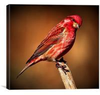 Purple Finch, Canvas Print