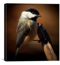 Black Capped Chickadee, Canvas Print