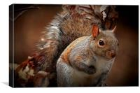 Grey Squirrel , Canvas Print