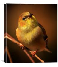 American Gold Finch, Canvas Print