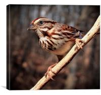 Song Sparrow , Canvas Print