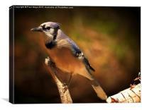 Blue Jay , Canvas Print