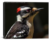 Male Downey Woodpecker, Canvas Print