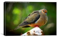 Mourning Dove , Canvas Print