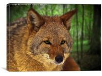 Coyote, Canvas Print