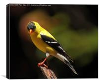 Male American Goldfinch, Canvas Print