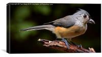 Tufted Titmouse , Canvas Print
