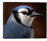 Blue Jay Portrait , Canvas Print