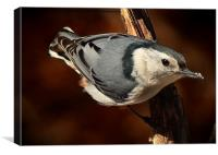 White Breasted Nuthatch , Canvas Print
