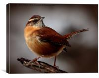 Carolina Wren , Canvas Print