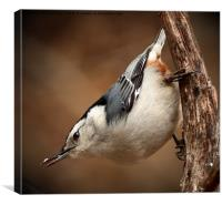 White Breasted Nuthatch, Canvas Print