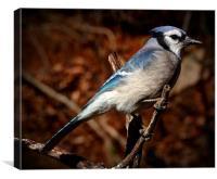 American Blue Jay, Canvas Print