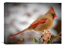 Female Northern Cardinal, Canvas Print