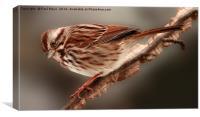 Song Sparrow, Canvas Print