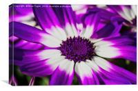 Purple Senetti, Canvas Print